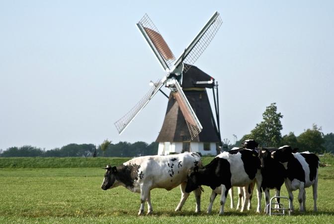 koeien-op-het-veld-met-windmolens